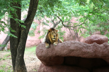 African lion on the red rock
