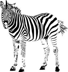 Zebra silhouette.