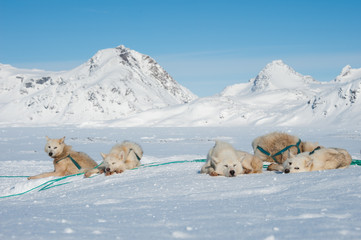 Greenland sled dogs resting before hard working.