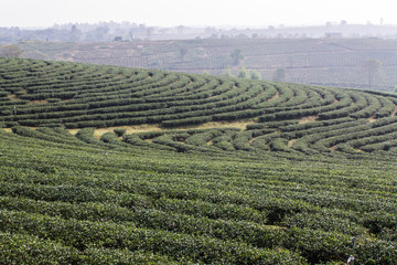 Green Tea Field , Chiangrai In Thailand