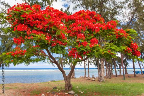 arbre flamboyant saint leu le de la r union photo libre de droits sur la banque d 39 images. Black Bedroom Furniture Sets. Home Design Ideas