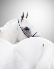 white beautiful arabian stallion against white background