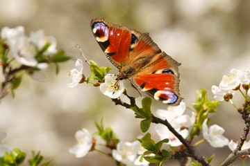 Spring, Butterfly European Peacock (Inachis io)