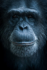 Photo sur Plexiglas Singe Portrait de singe chimpanzé