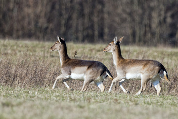 fallow deers while running