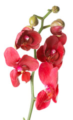 red orchid on the white background