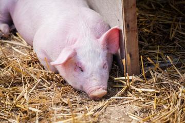little pink pig