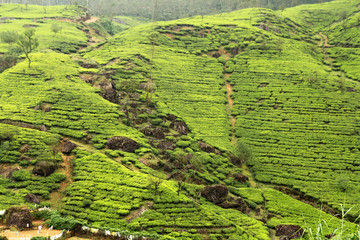Wall Mural - tea plantation countryside