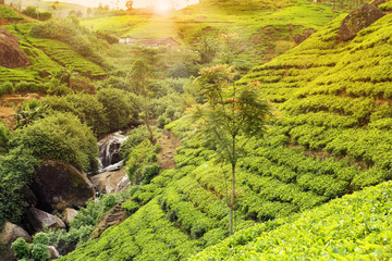 Wall Mural - tea plantation sunset