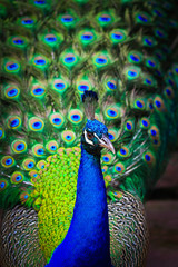Close-up portrait of peacock in the pairing season