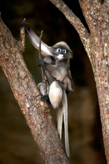 Portrait monkey on tree ( Presbytis obscura reid ).