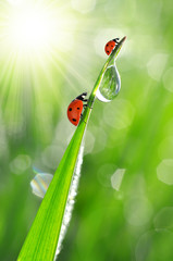 Wall Mural - Fresh morning dew on a spring grass and little ladybugs