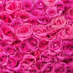 Hot Pink Roses Background