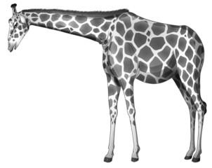 A grey giraffe