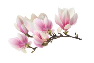 Zelfklevend Fotobehang Magnolia magnolia