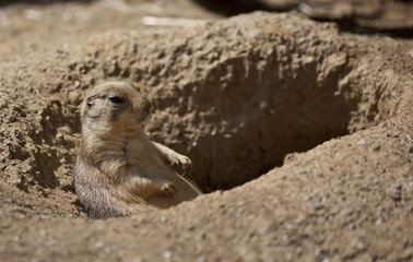 A Marmot in a Hole Looking Curiously