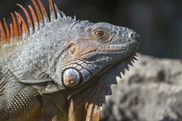 portrait of a wild iguana lizard