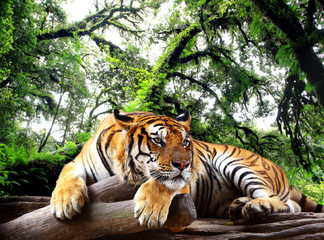 Foto auf Acrylglas Tiger Tiger looking something on the rock in tropical evergreen forest