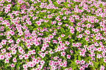 """flower in garden background names """"Cape Periwinkle"""""""