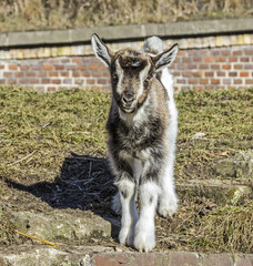 Baby goat standing in front of a barn.