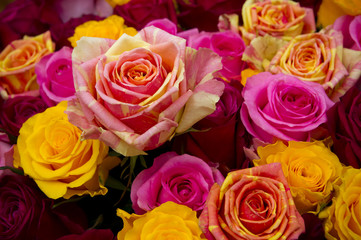 Multicolored  rose closeup