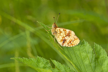 Lesser Marbled Fritillary, Brenthis io resting on leaf