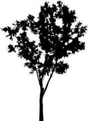deciduous small tree silhouette isolated on white