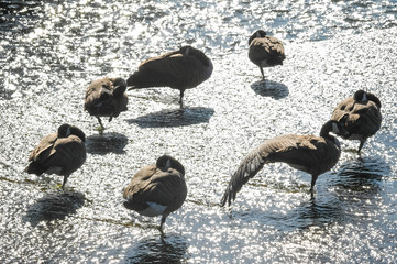 canada geese in shallow water backlit by sunlight