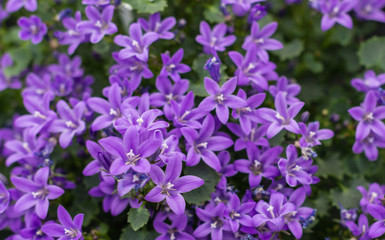 Closeup of Campanula plants purple flowering in the garden