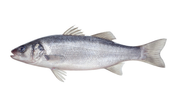 fish seabass Isolated on the white background