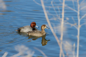 Redhead Ducks male and female