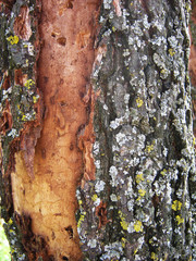 Oak Bark Background