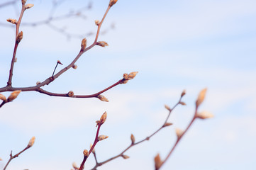 budding tree in the spring