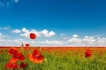 Obraz Field of red poppies - fototapety do salonu
