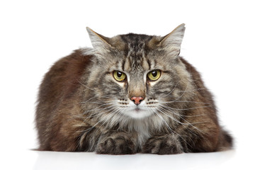 Maine Coon on a white background Wall mural
