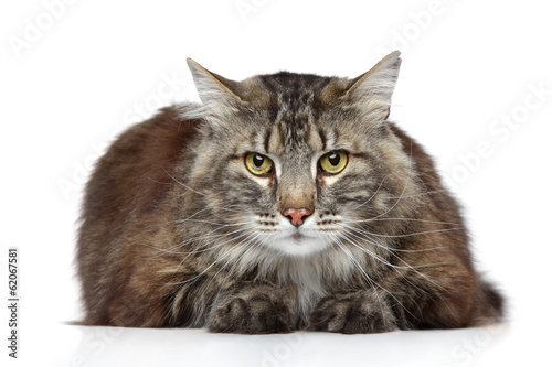 Wall mural Maine Coon on a white background