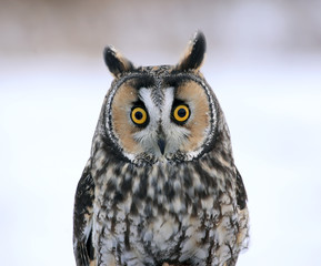 Long-eared Owl Face-to-Face