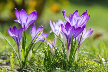 Photo sur Plexiglas Crocus Spring crocus