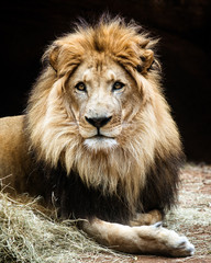 Portrait of male African lion