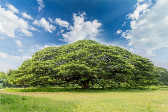 The largest monkey pod tree on the blue sky