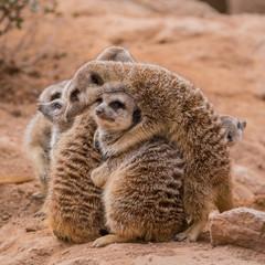 Group of meerkats hugging