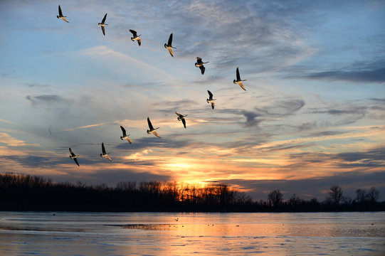 Canadian Geese Flying in V Formation