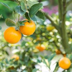 fresh orange on plant
