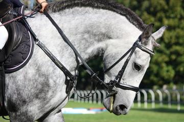 White horse portrait under saddle