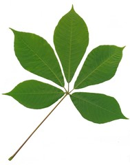 green leaf of horse chestnut tree isolated