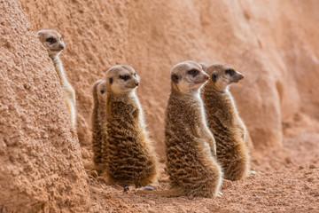 Group of meerkats looking one way