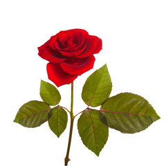 red rose on a green stem with leaves