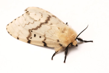 Moth, Brudnice (Lymantria dispar), female