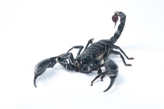 Asian Forest Scorpion - Heterometrus spinifer