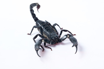 Asian Forest Scorpion - Heterometrus spinifer